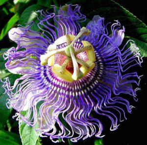 meczennica-cielista-passiflora-incarnata-1859937